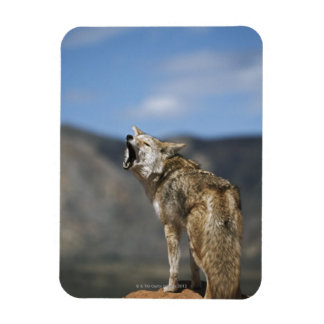 Coyote Howling From High Point Rectangular Photo Magnet
