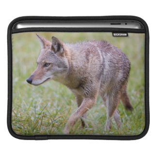 Coyote in field, Cades Cove iPad Sleeve