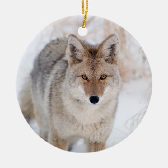 Coyote in Snow at Yellowstone National Park Christmas