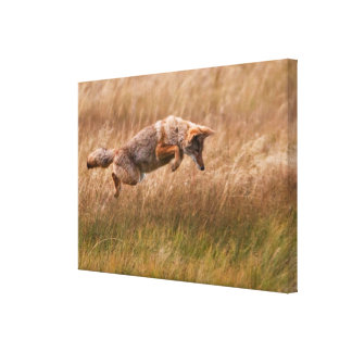 Coyote Leaping - Gibbon Meadows Canvas Print