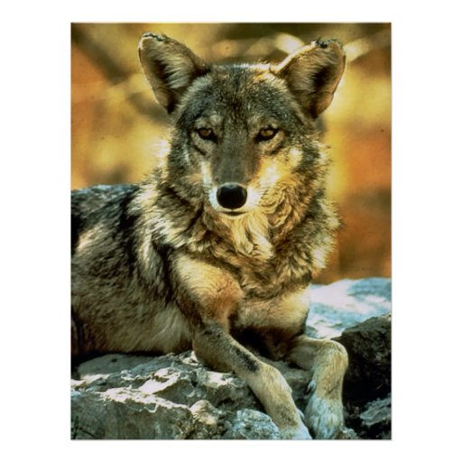 Coyote Lovers Gifts Poster