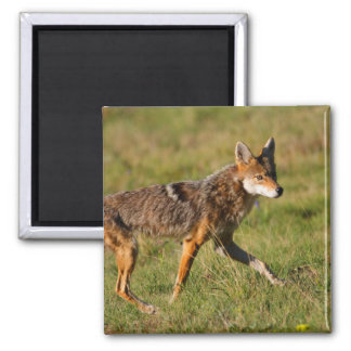 coyote refrigerator magnets