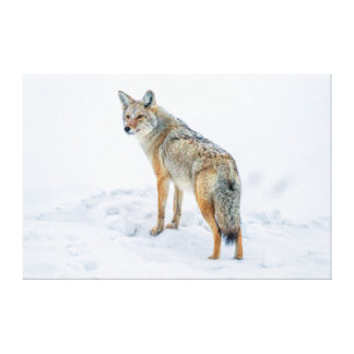 Coyote on alert in snow canvas print