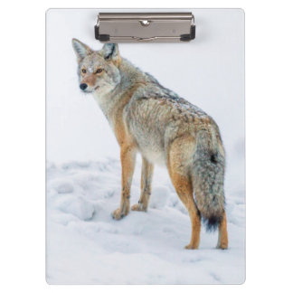 Coyote on alert in snow clipboard