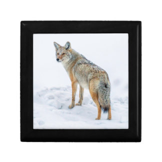 Coyote on alert in snow gift box