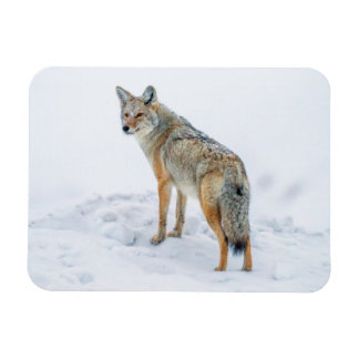 Coyote on alert in snow magnet