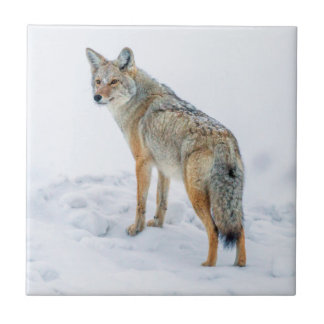 Coyote on alert in snow tile