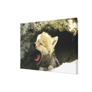 Coyote pup yawning stretched canvas prints