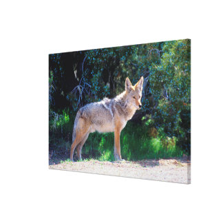 Coyote Stands along a Road Canvas Print