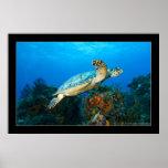 Cozumel - Turtle #5 - 11-2009 Poster