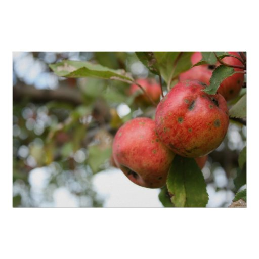Crab Apple on Tree Poster