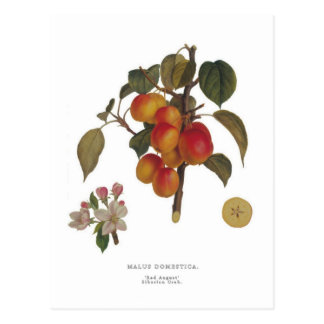 Crab apple postcard