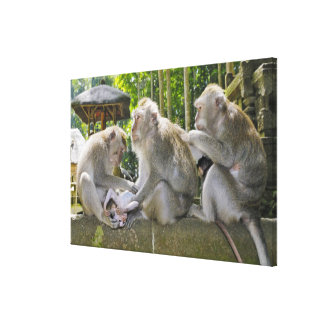 Crab-eating Macaque, Macaca fasciularis, in Ubud Canvas Print