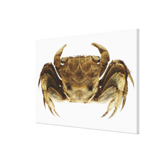 Crab on white background stretched canvas print