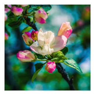 Crabapple flower and buds photo