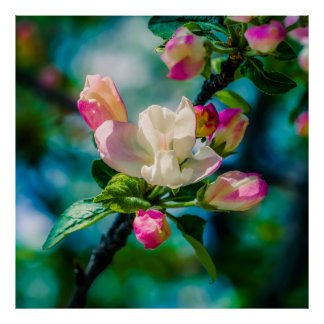 Crabapple flower and buds poster