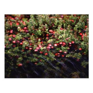 Cranberry Bog Postcard