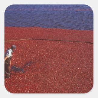 Cranberry Harvest, Middleboro, MA, USA Square Sticker