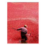 Cranberry harvesting postcards