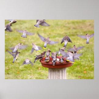 Crazed Flock of Cedar Waxwings Print