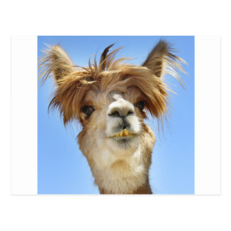 Crazy Hair Alpaca Postcard