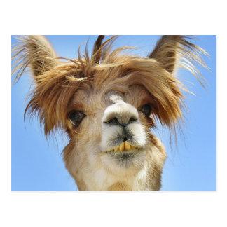 Crazy Hair Alpaca Postcard