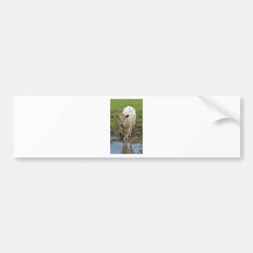 cream bull in water bumper stickers