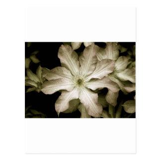 Cream clematis print postcard