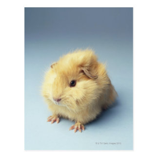 Cream colored Guinea pig Postcard