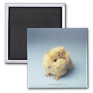 Cream colored Guinea pig Square Magnet