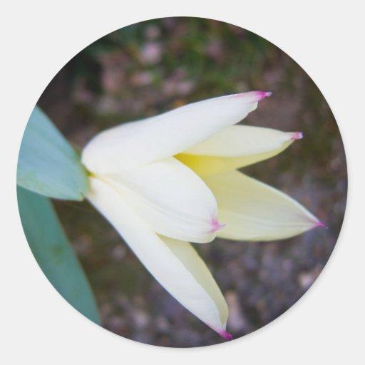 Cream Tulip Round Stickers