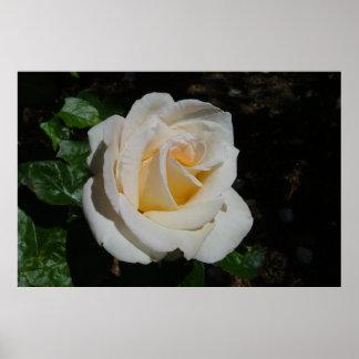 Creamy White Hybrid Tea Rose Whisper Posters