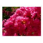 Crepe Myrtle Tree Magenta Flowering Tree Postcard
