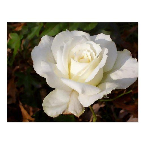 CricketDiane Romantic White Rose Blossom Postcard