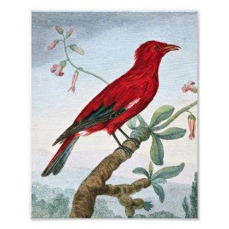 Crimson Roller Bird Painting Art Photo