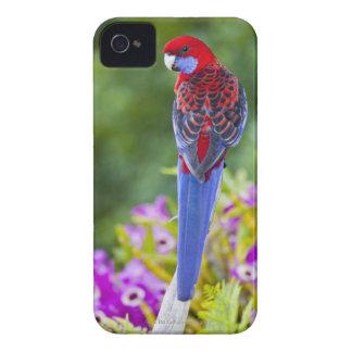 Crimson Rosella & backdrop of orchids Lamington iPhone 4 Case-Mate Cases