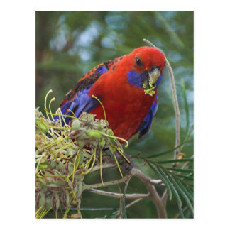 Crimson Rosella Postcard