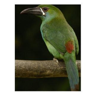 Crimson-rumped Toucanet bird Aulacorhynchus Postcard