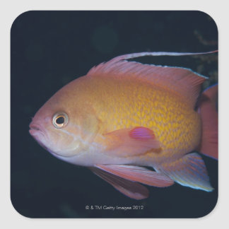 Crimson Seabream Square Sticker