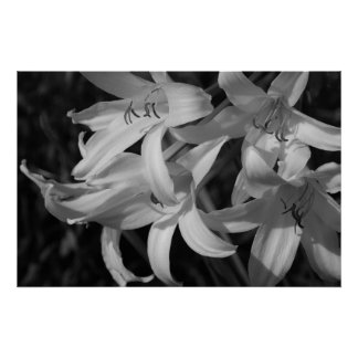Crinum Black & White Poster