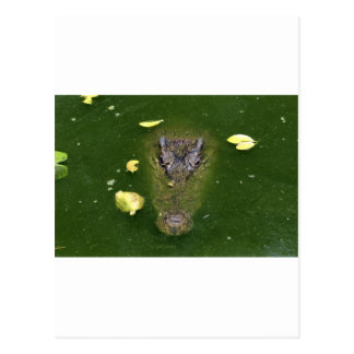 Crocodile green swamp postcards