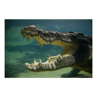 Crocodiles open mouth poster