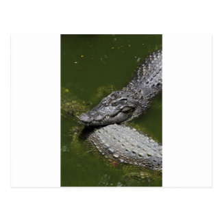 Crocodiles relaxing in green swamp post cards