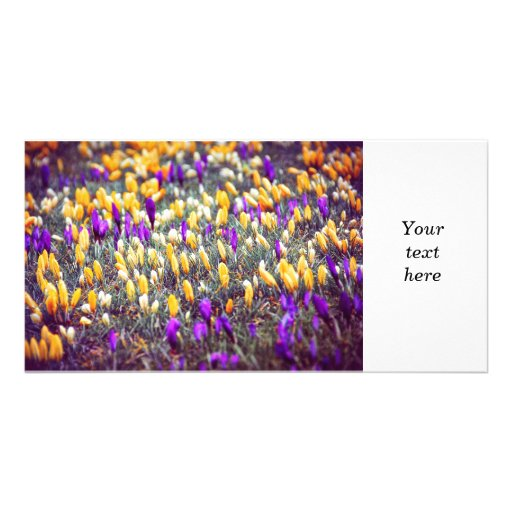 Crocus field photo greeting card