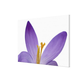 Crocus flower parts. canvas print