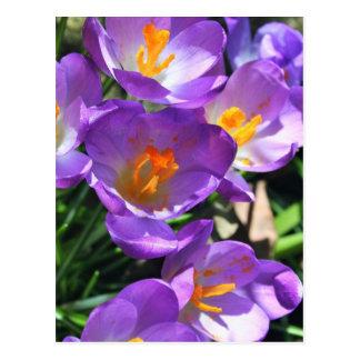 Crocus flowers.jpg postcard