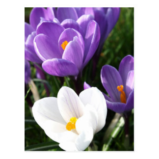 Crocus flowers postcard