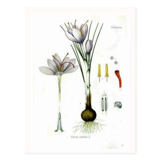 Crocus sativus postcard