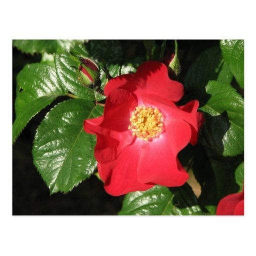 Crocus Shrub Rose 223 Post Card