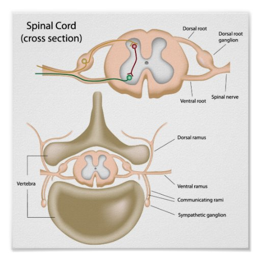 Cross section of the spinal cord poster